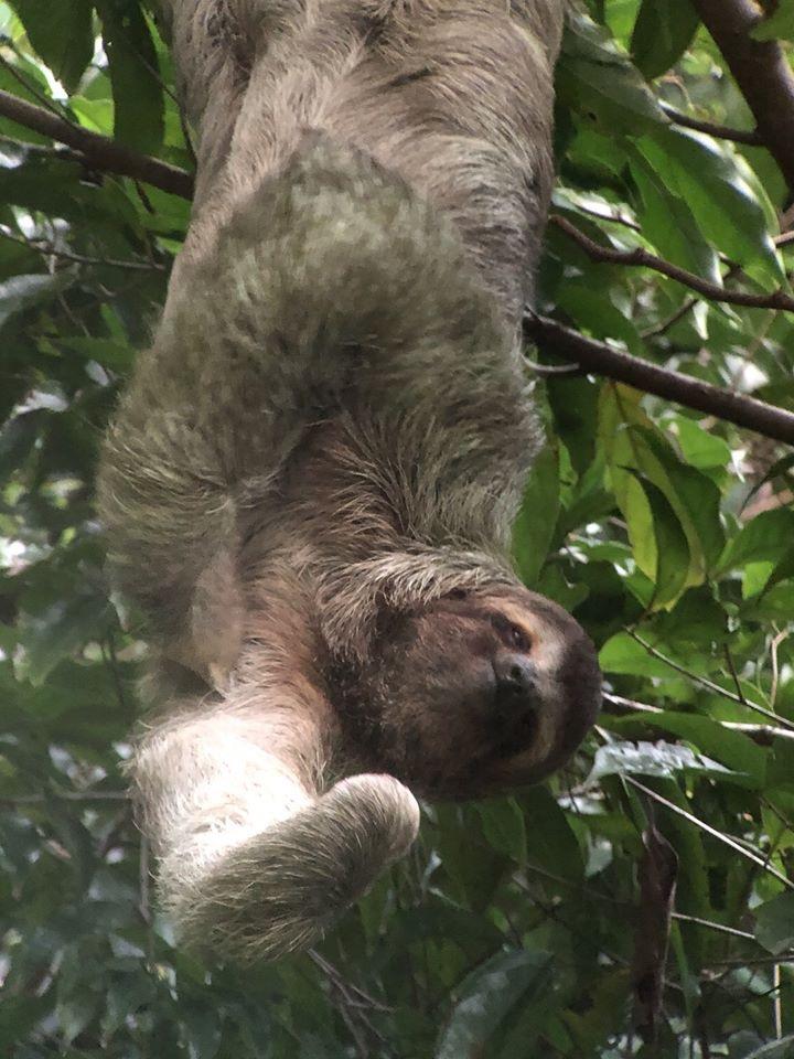 Sloth in Manuel Antonio Park